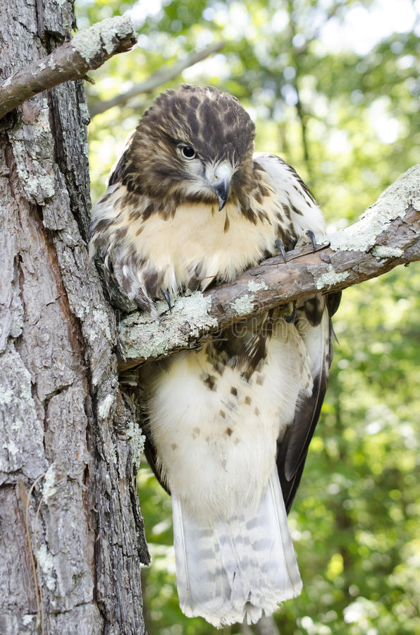 Ptaka drapieżnego ptak zdobycz, Nieletni Czerwony Ogoniasty jastrząb zdjęcia royalty free