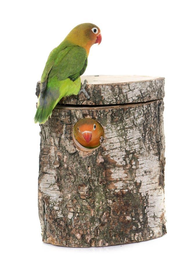 Ptaka gniazdeczka lovebird i pudełko zdjęcia royalty free