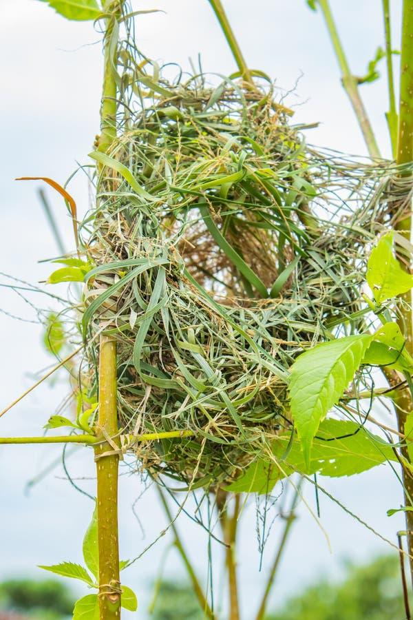 Ptaka gniazdeczko robić trawa na drzewach obraz stock