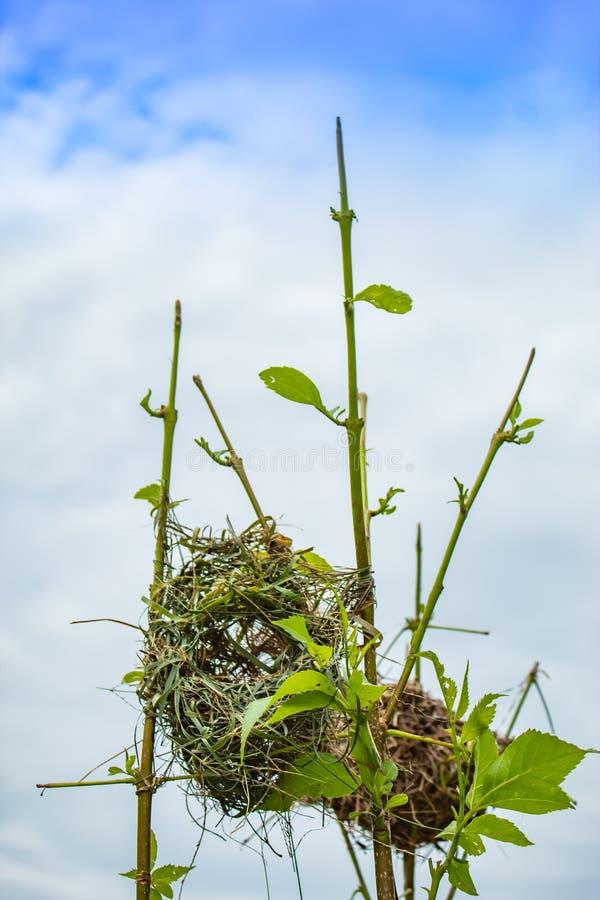 Ptaka gniazdeczko robić trawa na drzewach obrazy royalty free
