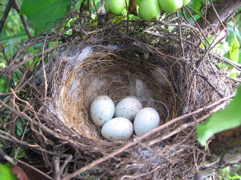 Ptaka gniazdeczko z jajkami w tkanych drzewnych sieciach obraz royalty free