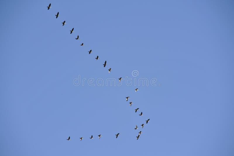 ptaka kierdel zdjęcia stock