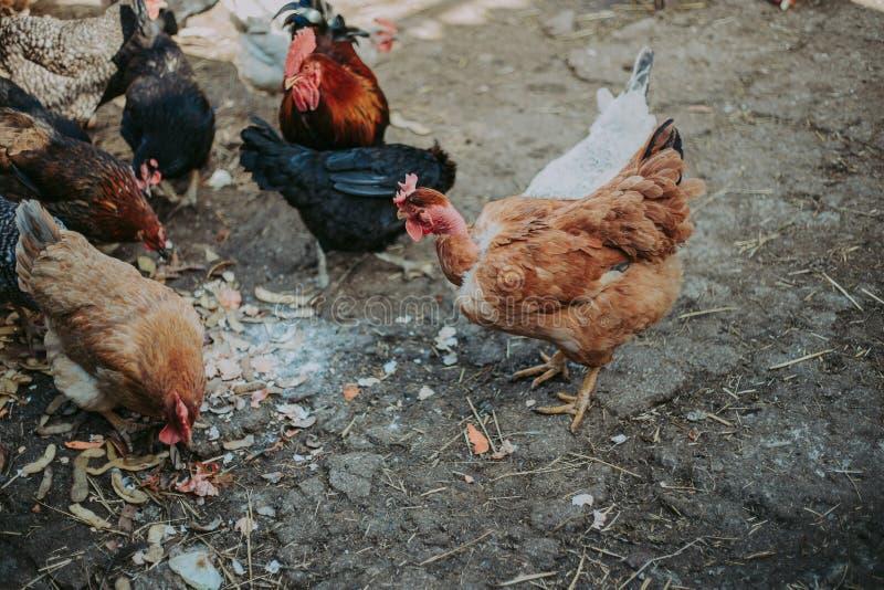 Ptaka spacer w świeżym powietrzu Piękni, kolorowi ptaki, karmią na ulicie fotografia stock