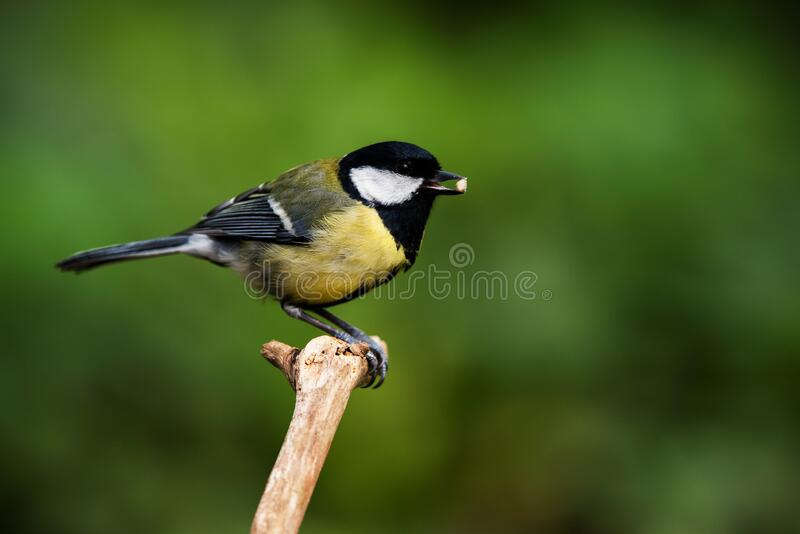 Ptaki - Great Tit, Tit, Parus major zdjęcia stock