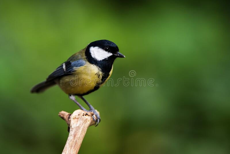 Ptaki - Great Tit, Tit, Parus major obrazy stock