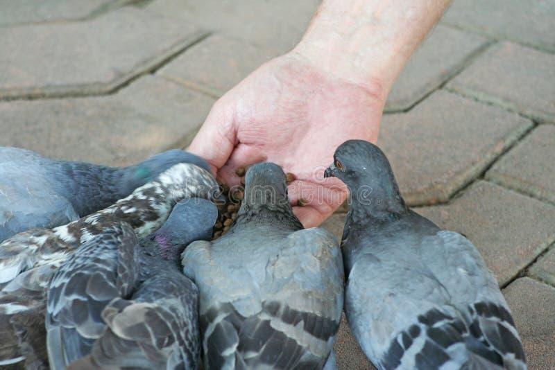 Ptaki je karmę zdjęcia royalty free