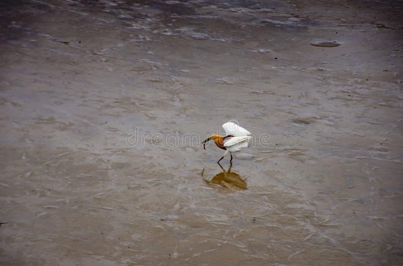 Ptaki karmi w morzu przy uderzeniem Poo, Samut Prakan obraz royalty free