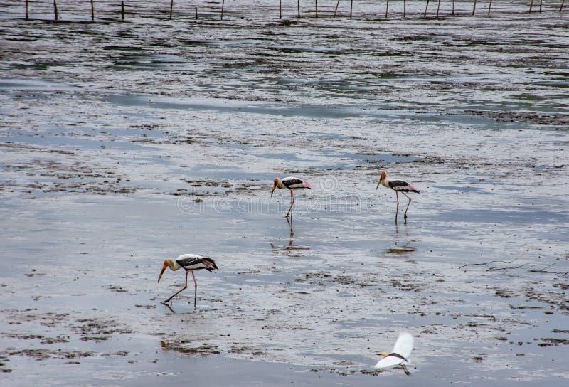 Ptaki karmi w morzu przy uderzeniem Poo, Samut Prakan obraz stock