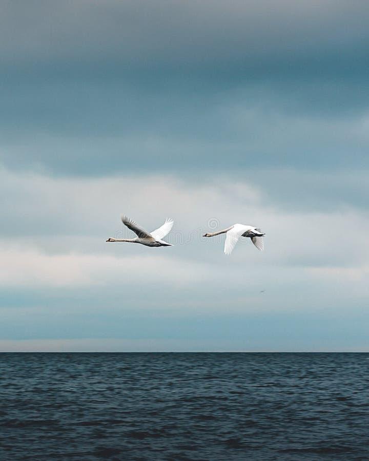 Ptaki lata nad wodą obrazy royalty free