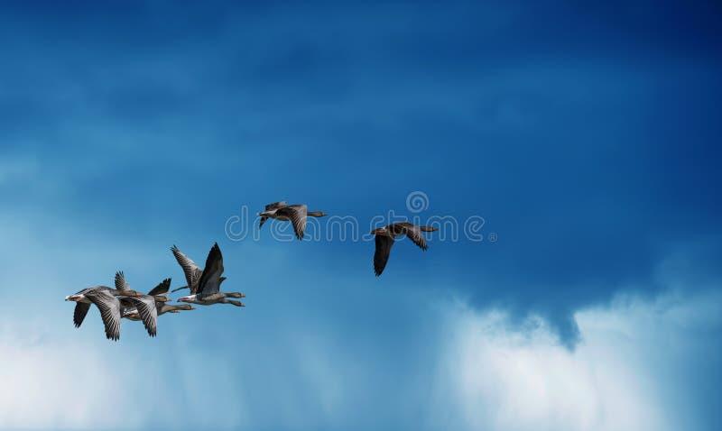Ptaki lata przeciw dżdżystemu niebu w tle obrazy royalty free