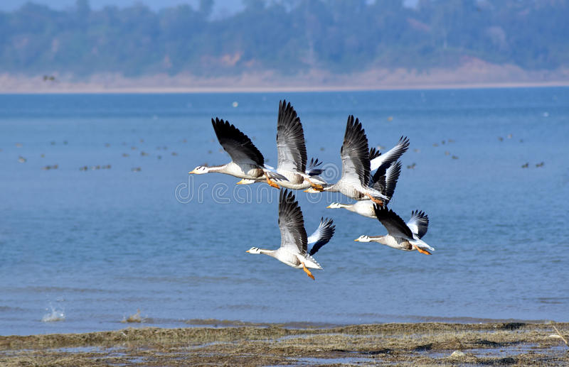 Ptaki migrujący zdjęcia royalty free