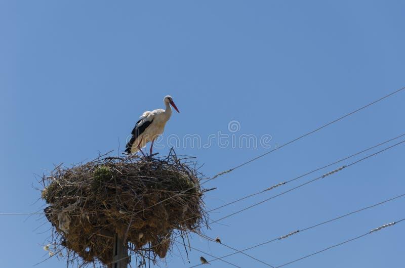 Ptaki migrujący gniazduje na elektrycznym słupie, bocian, w wiośnie zdjęcia royalty free