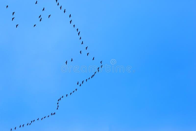 Ptaki Migrujący Lata na niebieskim niebie zdjęcia royalty free