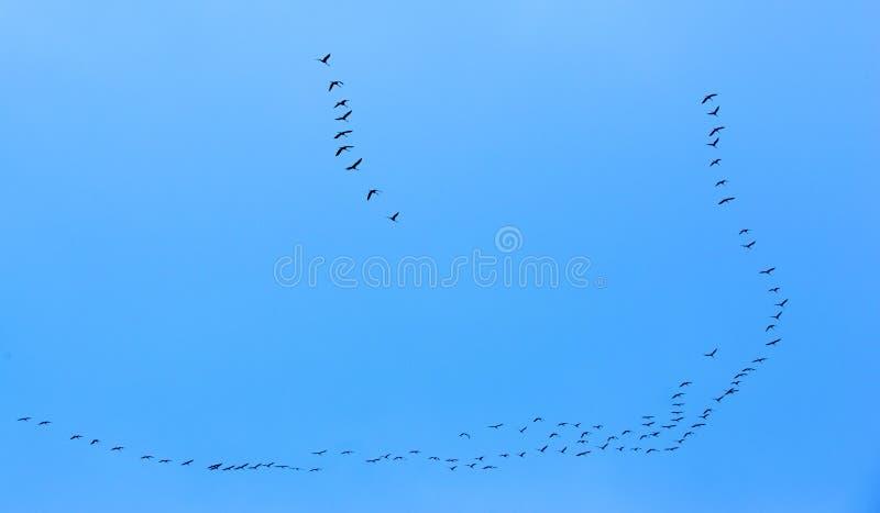 Ptaki Migrujący Lata na niebieskim niebie zdjęcia stock