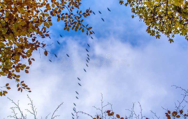 Ptaki migrujący latają za niebieskimi niebami i jesieni treetops zdjęcia stock