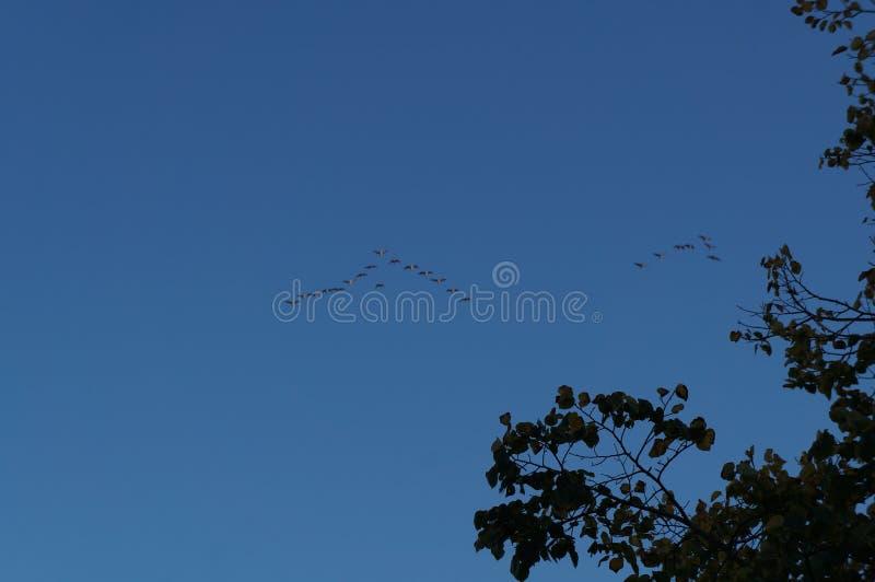 Ptaki migrujący w niebie w spadku fotografia royalty free