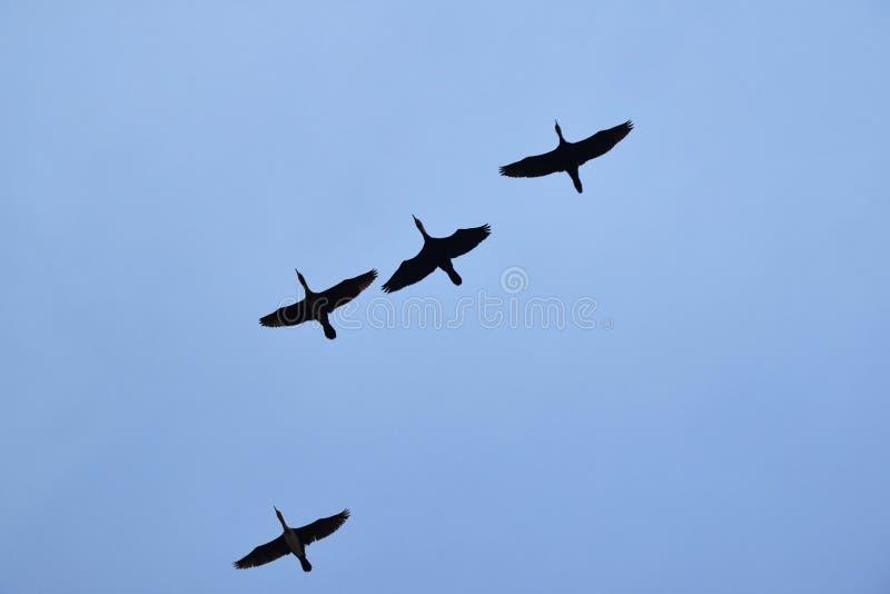 ptaki migrujący w niebieskim niebie zdjęcia royalty free