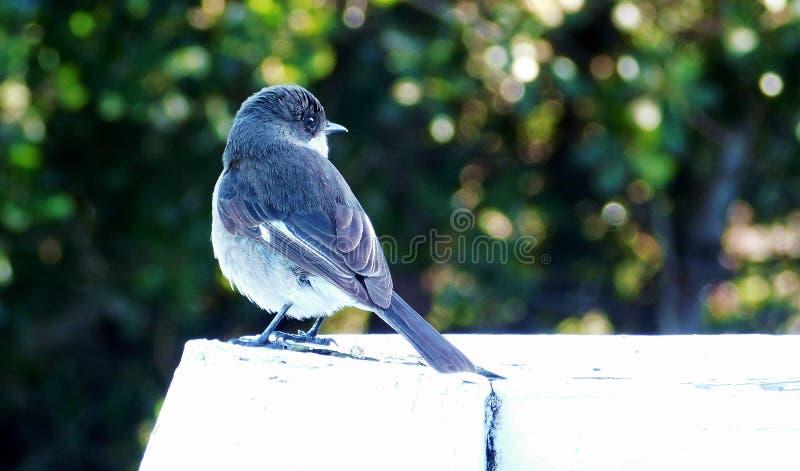 Ptaki na drewnianym żywopłocie zdjęcia stock
