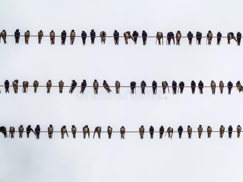 Ptaki na elektrycznych kablach zdjęcia royalty free