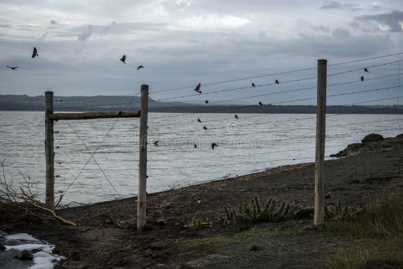 Ptaki na płotowym pobliskim Jeziornym Elementaita zdjęcia stock