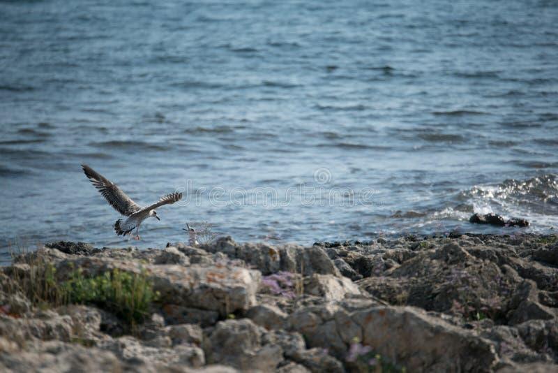 Ptaki na skałach morze zdjęcia stock