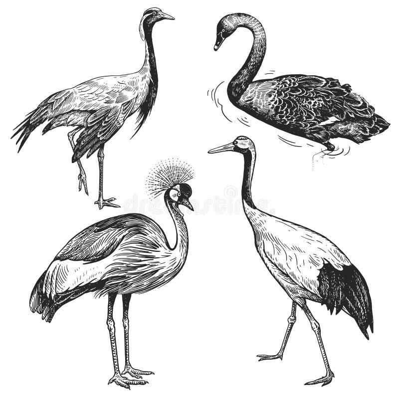 ptaki odłogowania Żuraw, Japoński żuraw, Koronowany żuraw, Czarny łabędź blA ilustracja wektor