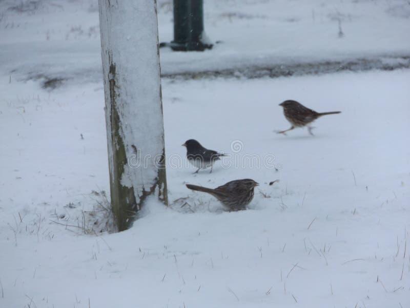 Ptaki patrzeje dla jedzenia w śniegu zdjęcia royalty free