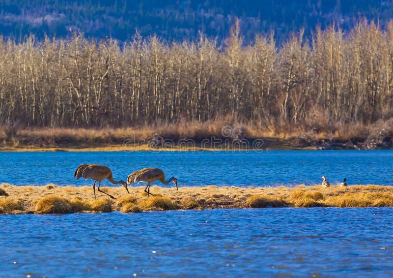 Ptaki przy Waterton jezior parkiem narodowym zdjęcia stock