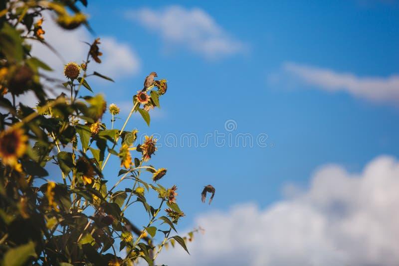 Ptaki słonecznikowi obraz royalty free