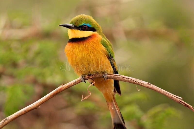 Ptaki Tanzania zdjęcie stock