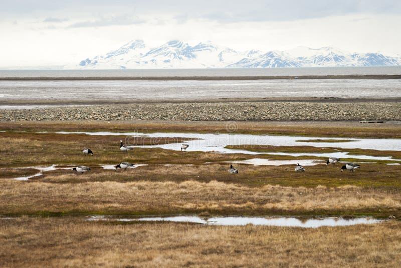 Ptaki w arktycznej tundrze, Svalbard, Norwegia obraz royalty free