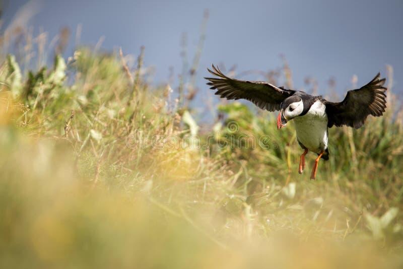 Ptaki w Iceland zdjęcie stock