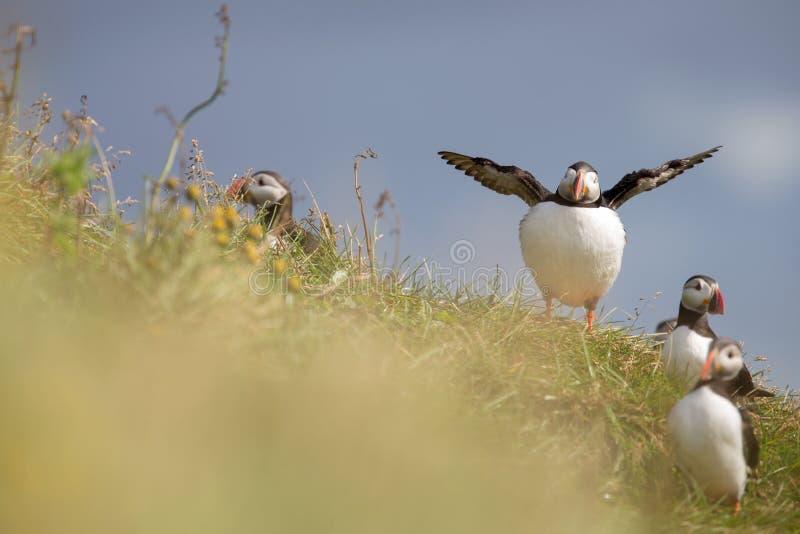 Ptaki w Iceland obraz royalty free