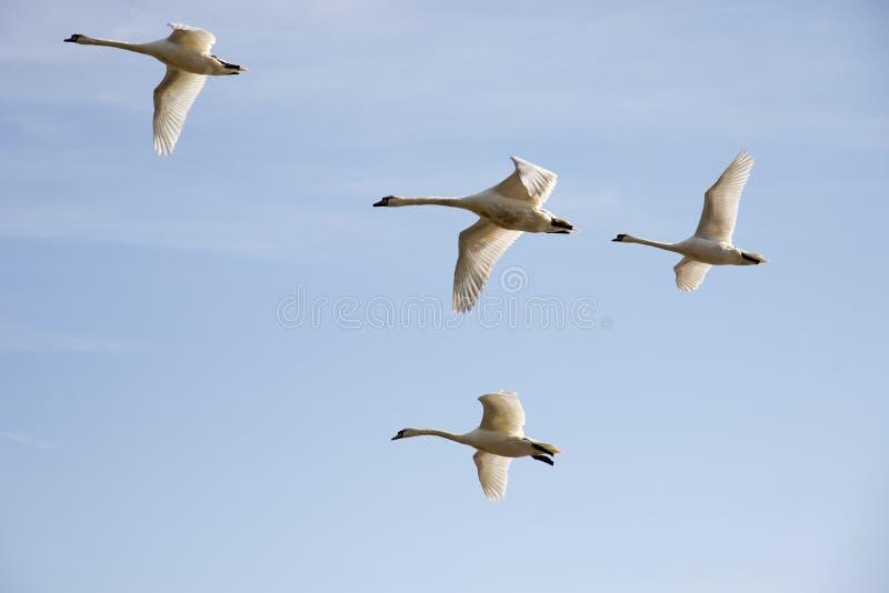 Ptaki W locie zdjęcie stock