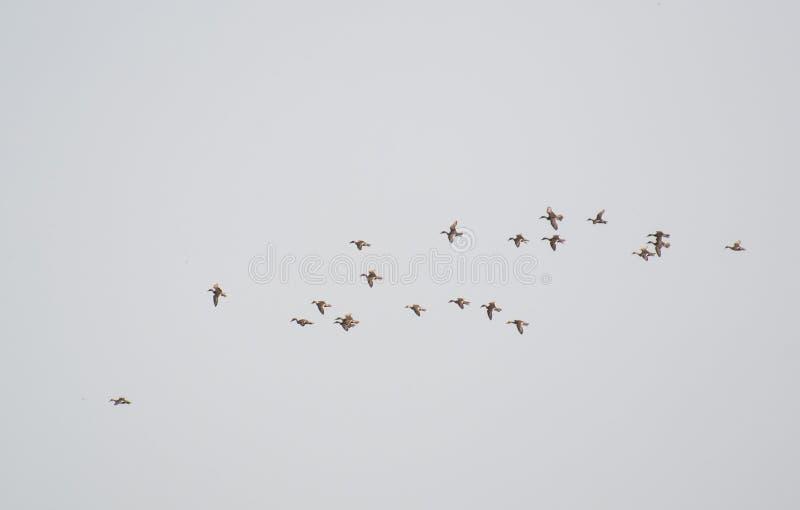 Ptaki w lota Północnego Pintail kaczkach fotografia stock
