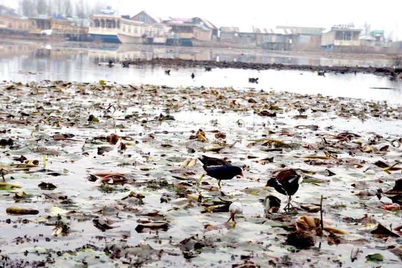 Ptaki w Marshy ziemi obrazy stock