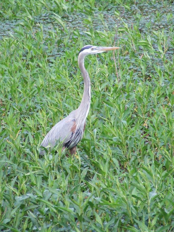 Ptaki wodą w Lakeland, Floryda obraz stock