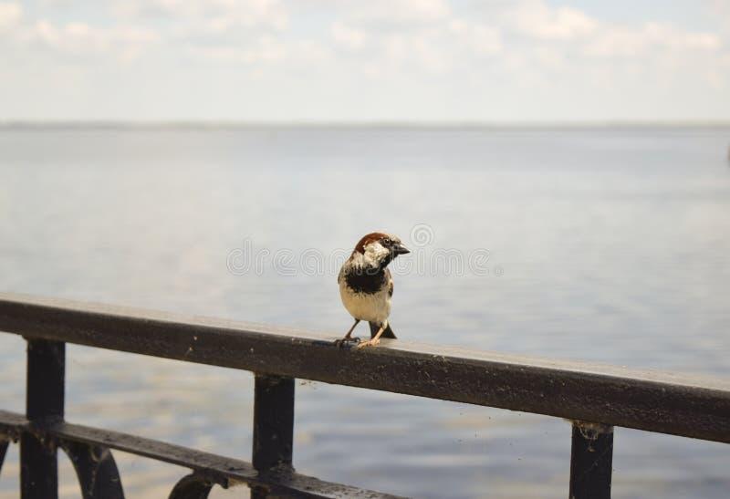 ptaki wróbli fotografia stock