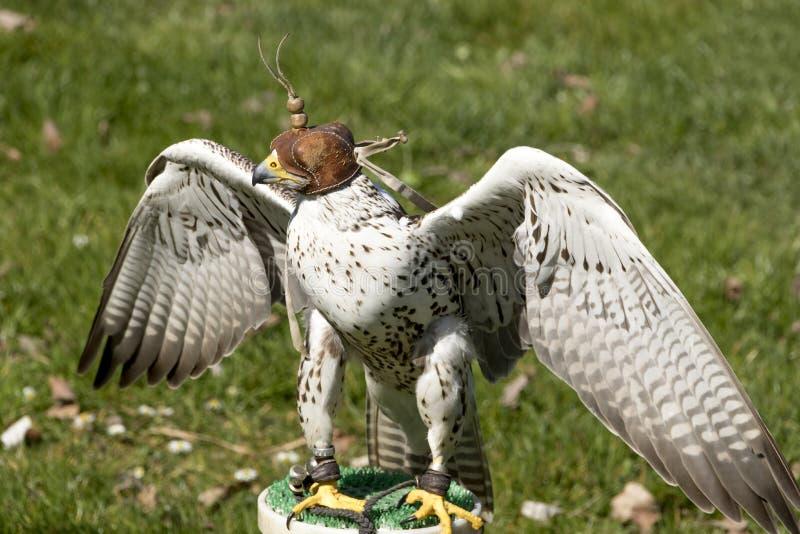 Ptaki zdobycz - Lanner jastrząbek Falco Biarmicus zdjęcia royalty free