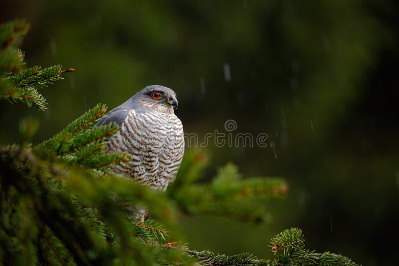 Ptaki zdobycza Eurazjatycki sparrowhawk, Accipiter nisus, siedzi na świerkowym drzewie podczas ulewnego deszczu w lasowym jastrzę zdjęcia stock