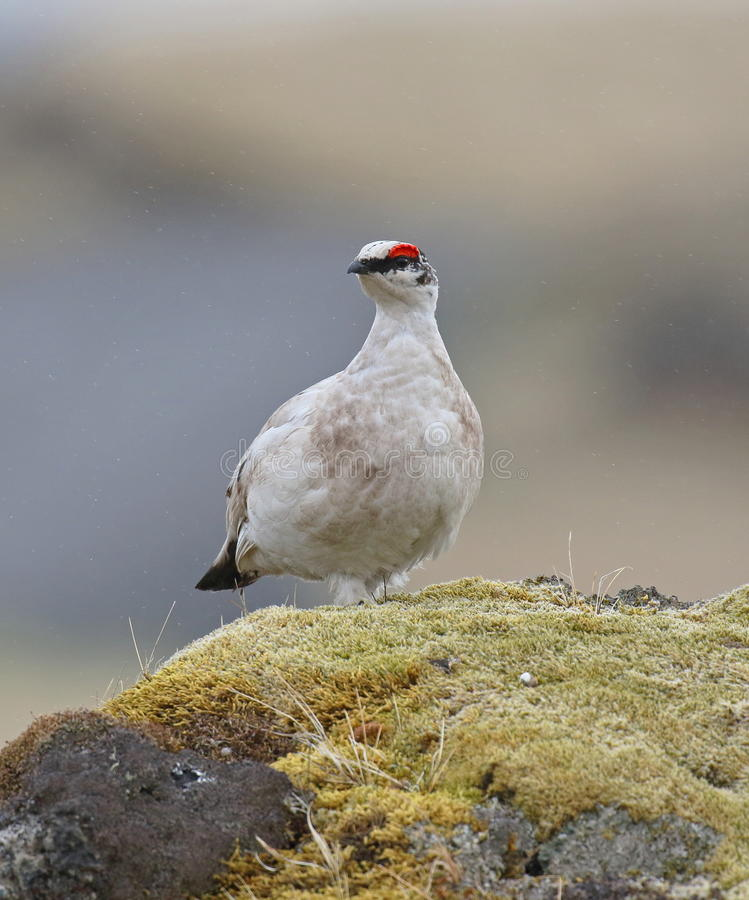ptarmigan images stock