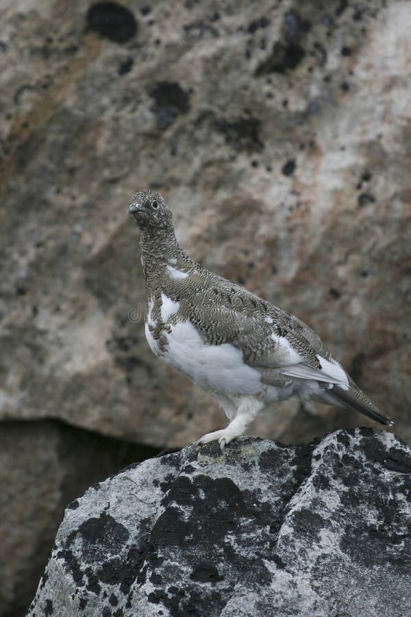 Download Ptarmigan (Lagopus mutus) stock image. Image of greenland - 10779085