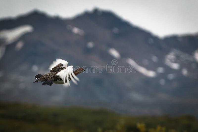 Ptarmigan Lagopus w locie, kolumbia brytyjska, Kanada zdjęcie royalty free