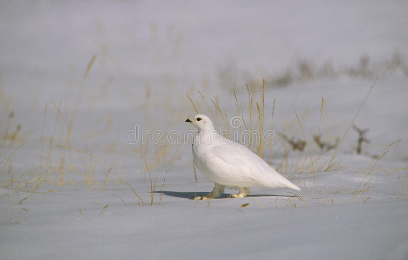 Ptarmigan in Winter. A ptarmigan in winter plumage standing in snow stock images