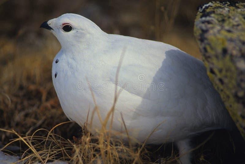 Ptarmigan in Winter. A ptarmigan in winter plumage huddled near a rock stock photo