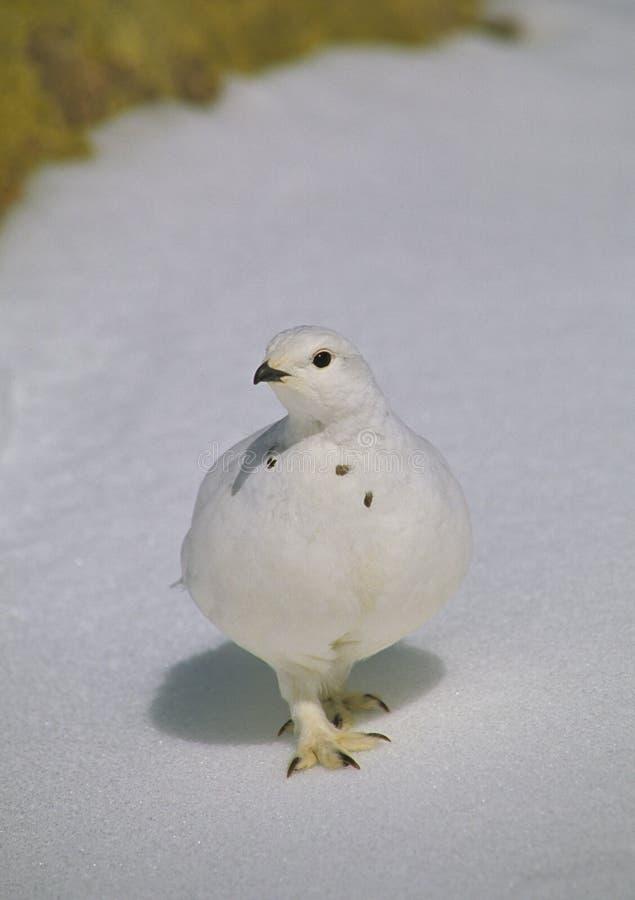 Ptarmigan in Winter Plummage. A ptarmigan in winter plumage standing in snow stock photos
