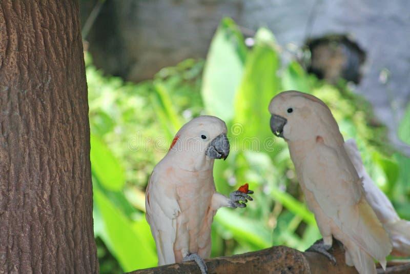 Ptasi łasowanie, Łososiowy czubaty kakadu, Cacatua moluccensis zdjęcia stock
