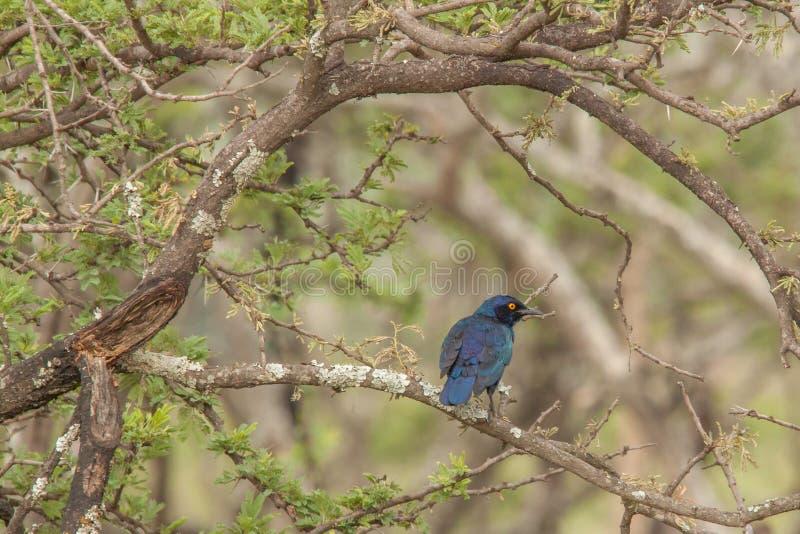 Ptasi życie Nambiti fotografia stock