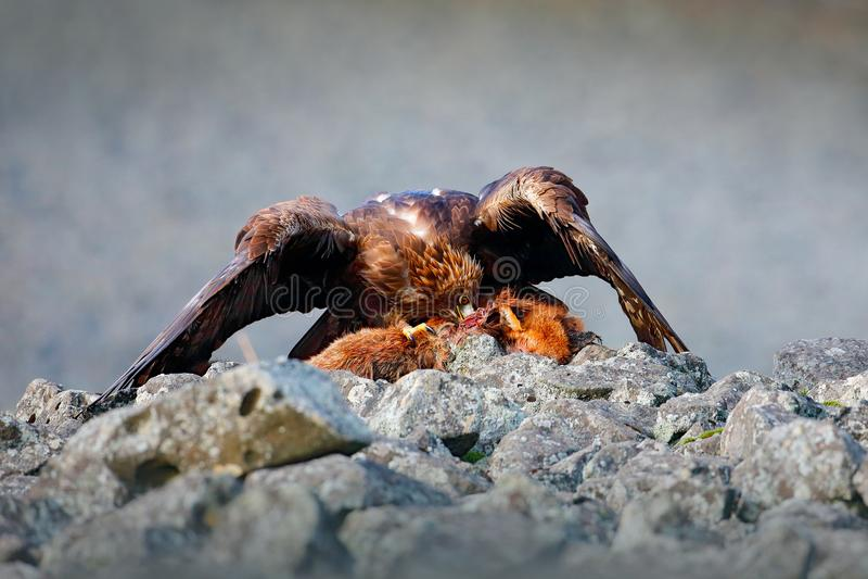 Ptasi żywieniowy zachowanie w skalistej górze Myśliwy z chwytem Złoty orzeł w popielatym kamiennym siedlisku Fox ścierwo Złoty Ea zdjęcia royalty free