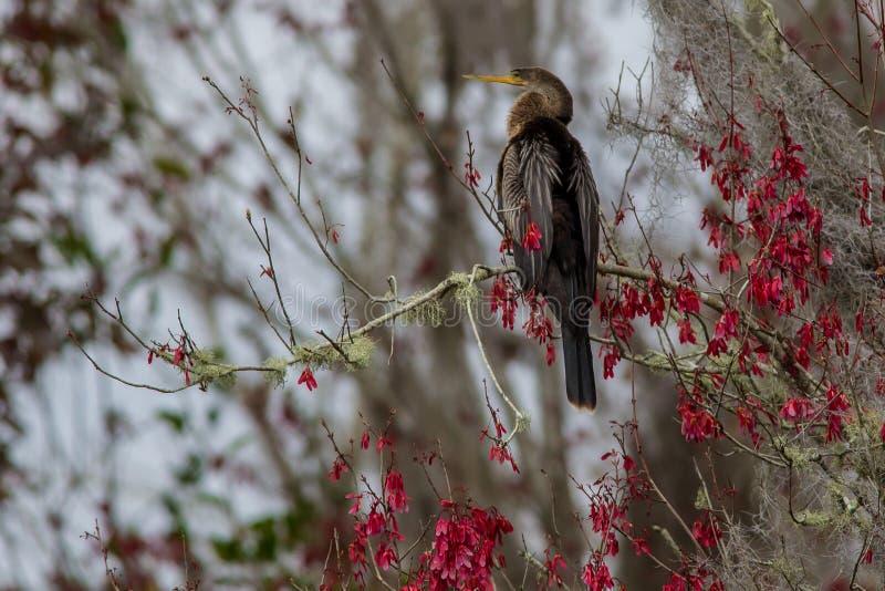 Ptasi Anhinga w Ameryka zdjęcia stock